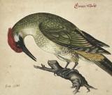 Watercolour of a European Green Woodpecker [Picus Viridis] perched on a branch;  n.d. [pre 1663]