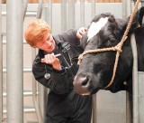 Vet school student examines a cow